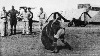 تصویر از وویتک خرسی جنگنده در کارزار جنگ جهانی که از البرز به ایتالیا رسید