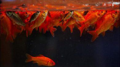 تصویر از ماهی قرمز، نمادی از هفت سین که تجارت عیدانهاش پر از سود است!
