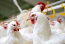 تصویر از قیمت مرغ امروز ۴ آذر به کیلویی ۴۰ هزار تومان رسید