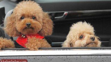 تصویر از ۱۳ تا از بهترین نژادهای سگ آپارتمانی