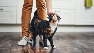 تصویر از رفتار شناسی گربهها | چرا گربهها زیر پای صاحب خود میخوابند؟