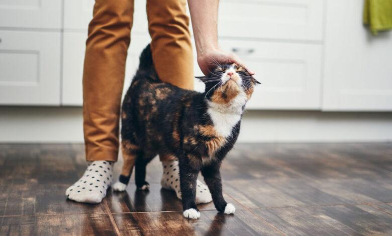 رفتار شناسی گربهها | چرا گربهها زیر پای صاحب خود میخوابند؟