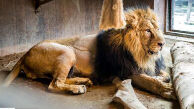 تصویر از هیرمان شیر باغ وحش ارم شانس میآوَرَد اگر بمیرد