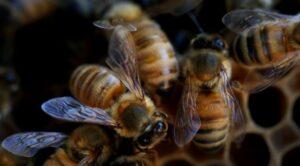 زنبور عسل با فشارهای زیادی روبرو میشود